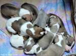 Hokum x Jamaica puppies at 2.5 weeks. Photo by David Cassell.
